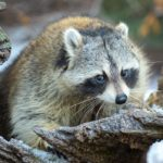 Can a Raccoon Harm Your Pets