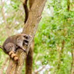 How to Safely Clean Raccoon Feces