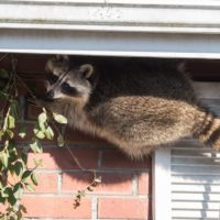 Humane Raccoon Trapping and Removal