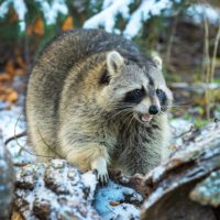 Raccoon Baby Season - What You Need to Know