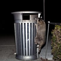 How to Keep Raccoon Out of Your Trash