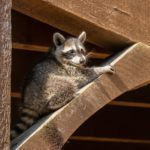 How to Tell if a Raccoon Has Babies small