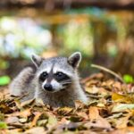 Removing a Raccoon From Your Chimney